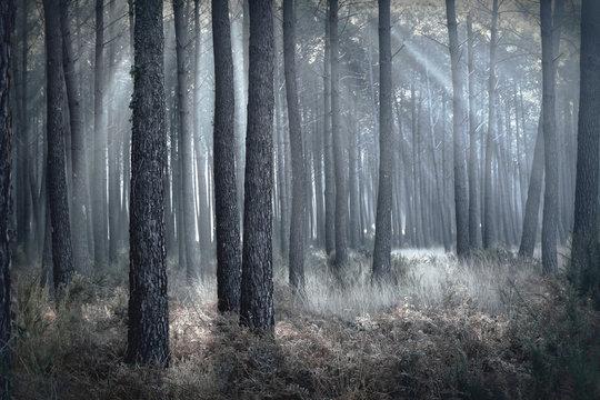 rayons de soleil au milieu de la brume foret landaise