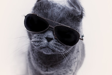 Portrait of British shorthair gray cat wearing sunglasses closeu
