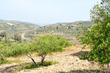 Olive trees in the hills.