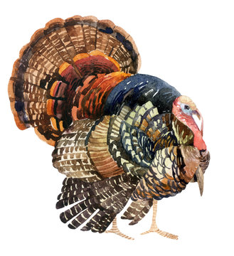 Watercolor turkey isolated on the white background