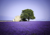 fields of blooming lavender flowers with old farmhouse - Provence, France