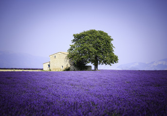 Wall Mural - fields of blooming lavender flowers with old farmhouse - Provence, France