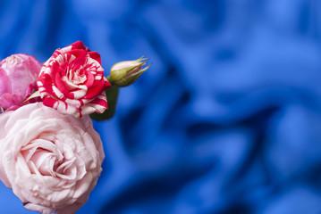 Three rose flower on blurred blue background
