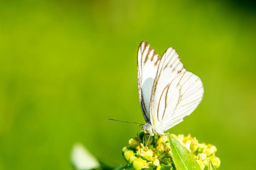 Macro of butterfly on wild flower. (The Striped Albatross)