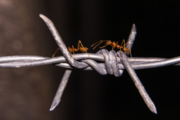 barbed wire with ant macro