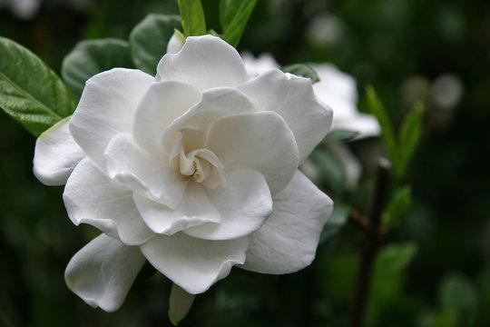 Gardenia Bloom Full
