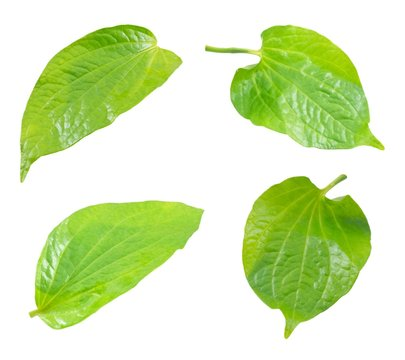 Set of Wildbetel Leafbush on White Background