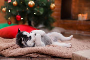 Dog Siberian Husky , Cute little siberian husky puppy