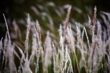reeds flower.