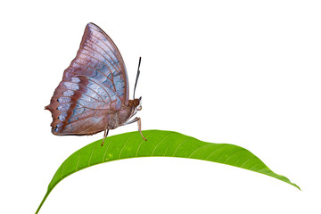 Isolated Tawny Rajah butterfly on leaf
