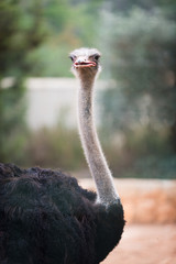 Curious African ostrich. Zoo pathos. Cyprus