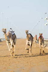 Dubai camel racing club camels racing with radio jockeys