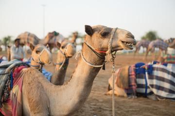 Dubai camel racing club camels waiting to race at sunset.