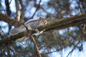 Eastern gray squirrel ( Sciurus carolinensis ) embraces a branch , Italy