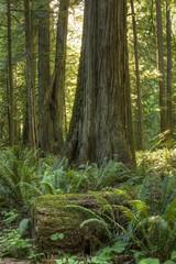 Red Cedar and Fern Forest