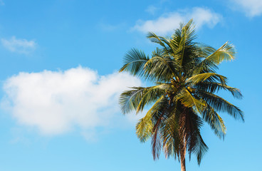 Coconut tree on blue sky background.