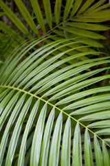 Jungle background of vibrant green layered palm fronds in Rio de Janeiro, Brazil