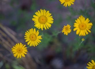 Yellow flowers of roman chamomile