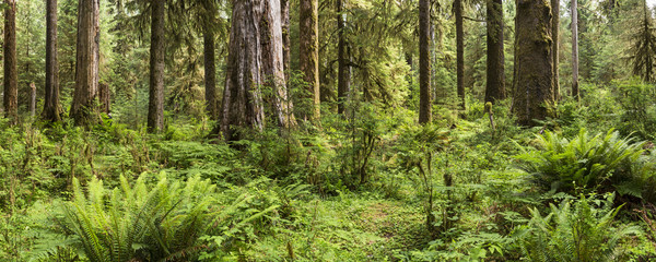 Lush Ferns and Trees in Hoh Rainforest