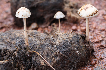 magic mushroom on excrement.