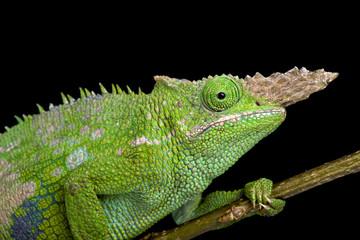 Fischer's chameleon (Kinyongia fischeri )
