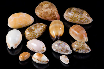 Collection of Cowrie Seashells on Black Background with reflection of shells. Diversity of the Cowrie species