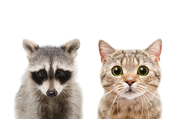 Portrait of a raccoon and cat Scottish Straight