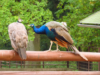 couple of peacocks on the fence