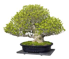 bonsai pine tree on white background