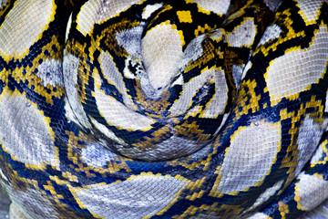 Big Giant black and yellow Python snake