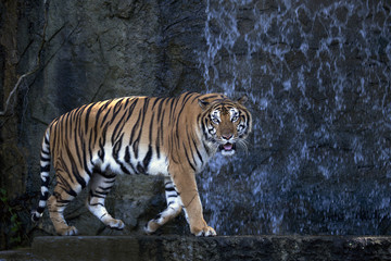 Bengal Tiger walking in front of the waterfall