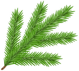 Green lush spruce branch. Fir branch