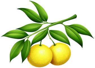 Fresh lemons on the branch
