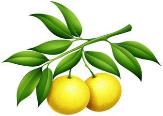 Fresh lemons on the branch