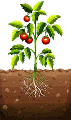 Tomatoes on the tree