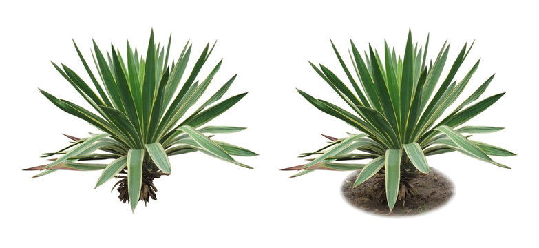 Yucca/Two isolated images of an evergreen plant: with ground and without ground.