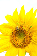 Sunflower and bumblebee on white background