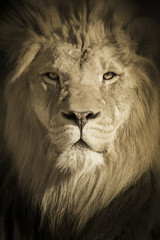 This beautifully toned portrait of a make African Lion as the King of Beasts was shot at a local zoo late on a fall day.