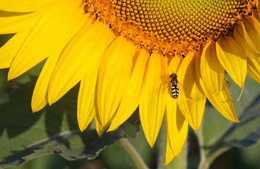 Sunflower and One Bee