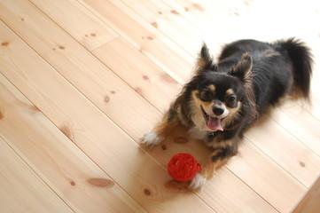 赤いボールで遊ぶブラックタンのロングコートチワワ
