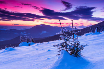 Colorful winter morning in the mountains. View of snow-covered conifer trees  at sunrise.