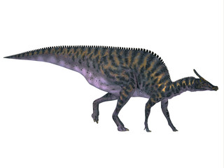 Saurolophus on White - Saurolophus was a Hadrosaur herbivorous dinosaur that lived in Mongolia, Asia in the Cretaceous Period.