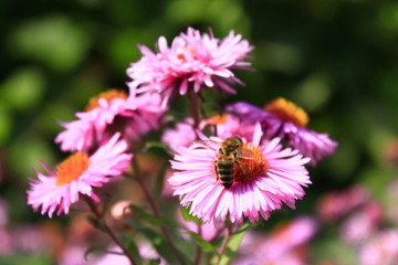 bee sits on the asters