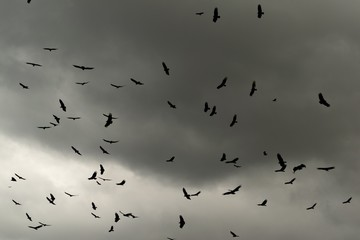 Black vultures circling in dark stormy sky with clouds
