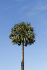 Palm tree top with green feathery leaves