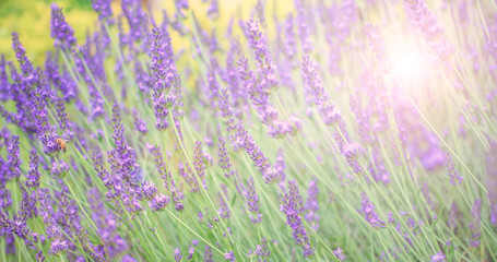 Soft and blur lavender field