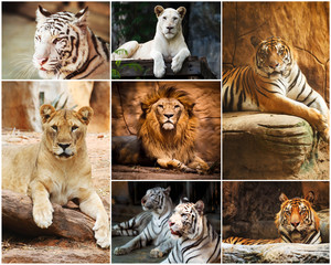 Different lion, tiger, white , yellow collage in the zoo