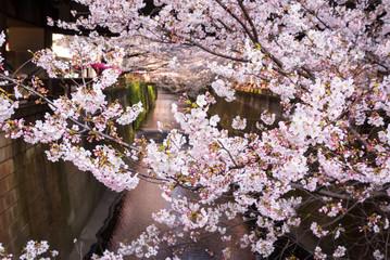 Tokyo, Japan at Meguro Canal in the spring season.