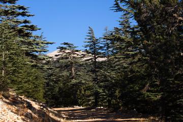 Dirt road in cedar forest. Mountain way, Turkey