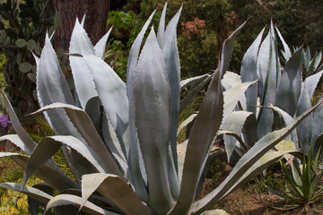 Macro photo agave leaves  in Spain. Lloret de Mar.
